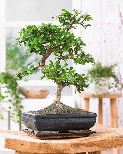 Bonsai Starters Kit – 5-Delige Set