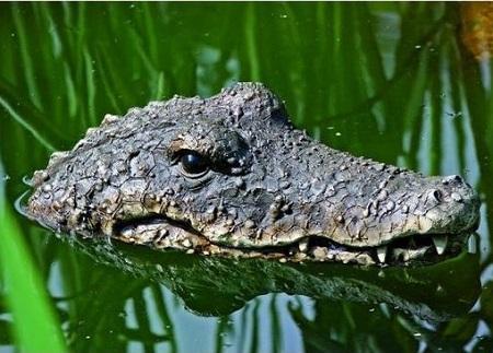 Drijvende Krokodil voor in Je Vijver